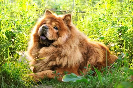 Portrait de chien chow-chow sur fond naturel  Banque d'images - 7720594