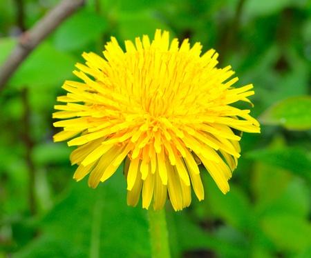 gelb: yellow dandelion on blurred green background Stock Photo