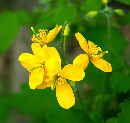 depressant: celandine flower in spring is very close