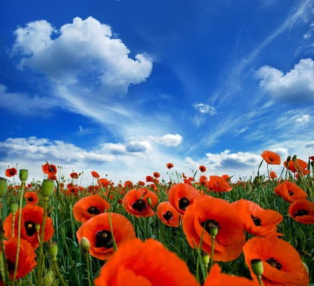 poppies blooming in the wild meadow high in the mountains Stock Photo