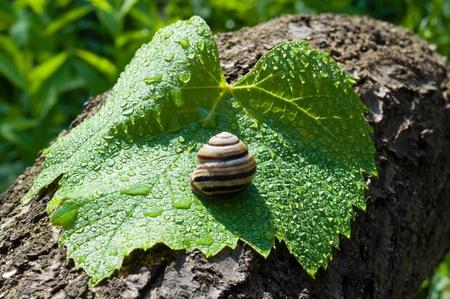 grape snail: garden (grape) snail on a wet leaf vine