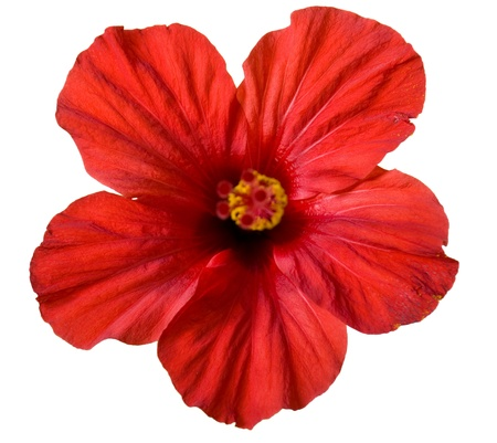 aloha: red hibiscus flower isolated on white background Stock Photo
