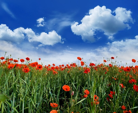 poppies blooming in the wild meadow high in the mountains Stock Photo - 10922894