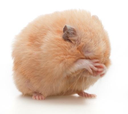 Hamster washes on white background photo
