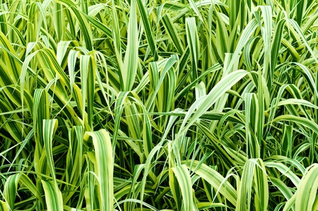 high ornamental grass Phalaris arundinacea as a background Stock Photo - 11181161