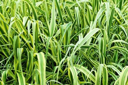carex: high ornamental grass Phalaris arundinacea as a background