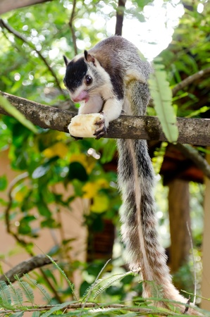 grizzled: The grizzled giant squirrel ( Ratufa macroura ) is a large tree squirrel found in  Sri Lanka