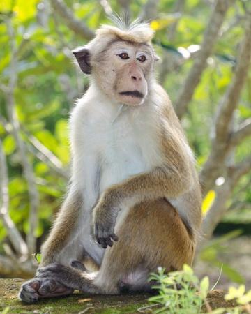 roughneck: Ceylon  macaque or macaque Bonnet in nature