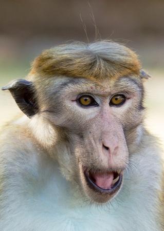 macaque: Ceylon  macaque or macaque Bonnet in nature