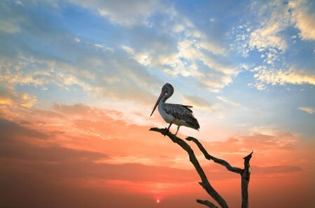 silhouette of a pelican who has arranged to sleep in a tree