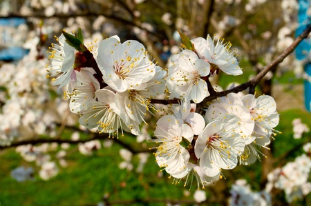 flowering cherry trees in spring as a backdrop Stock Photo - 12992110