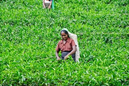 NEAR MOUNT PIDURUTALAGALA, SRI LANKA, DECEMBER 8, 2011  Tea pickers working on tea plantations near Mount Pidurutalagala, Sri Lanka, December 8, 2011  Stock Photo - 13244703
