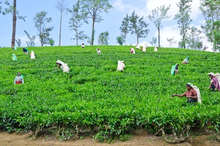 NEAR MOUNT PIDURUTALAGALA, SRI LANKA, DECEMBER 8, 2011  Tea pickers working on tea plantations near Mount Pidurutalagala, Sri Lanka, December 8, 2011