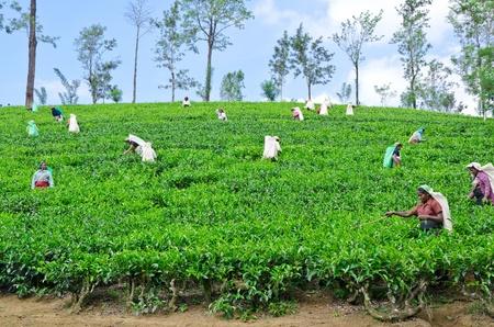 Près du mont Pidurutalagala, SRI LANKA, le 8 décembre 2011 cueilleurs de thé qui travaillent dans les plantations de thé près du mont Pidurutalagala, Sri Lanka 8 Décembre, 2011 Banque d'images - 13244709