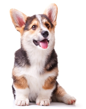 puppy dog breed Welsh Corgi, Pembroke on white Stock Photo