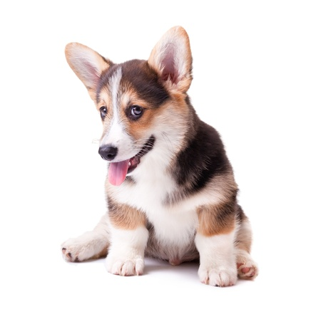 puppy dog breed Welsh Corgi, Pembroke on white photo