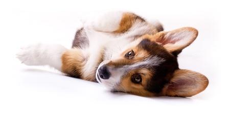 puppy dog breed Welsh Corgi, Pembroke on white photo