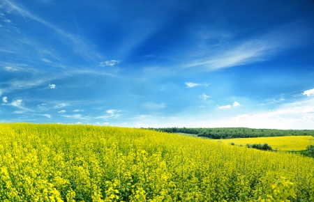 Canola fields under salient sky in spring landscape. The image collected from a few photos. Stock Photo