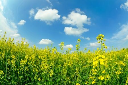 salient: Canola fields under salient sky in spring landscape Stock Photo