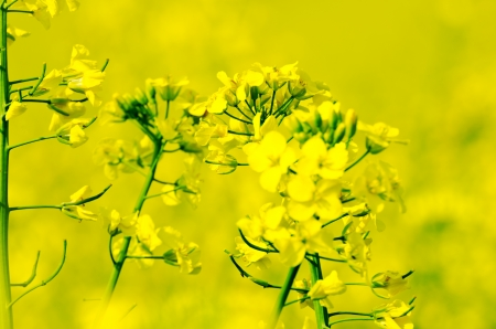 Canola branch under  fields  in spring landscape photo