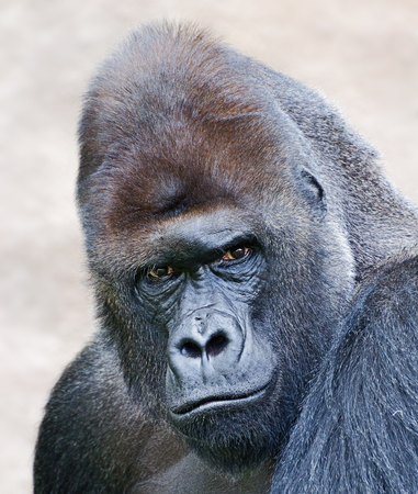 Portrait of a western lowland Silverback Gorilla