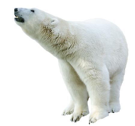 oso blanco: Figura de un aislamiento de oso polar en el fondo blanco Foto de archivo