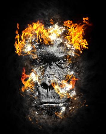 silverback: Portrait of a western lowland Silverback Gorilla on fire