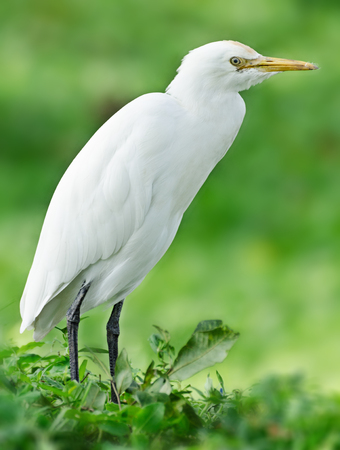 The great egret (Ardea alba) also known as common egret, large egret or great white heron Stock Photo