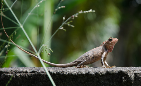 slithery: Little Dragon. Lizard in nature, Sri Lanka