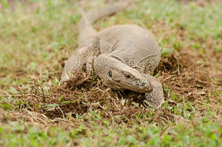 bengalensis: The Bengal monitor (Varanus bengalensis) or common Indian monitor, is a monitor lizard