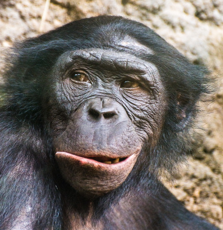 Close up portrait of chimpanzee Pan troglodytes resting in the jungle of Kibale forest Stock Photo
