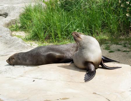 sea lion ( Zalophus )  female on the stone Stock Photo