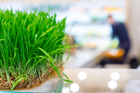 bean sprouts: Fresh sprouts of cereals on the counter bioproducts store Stock Photo