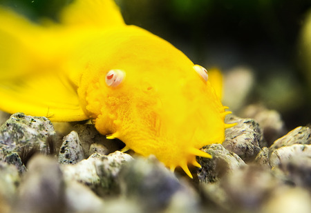 Golden Ancistrus pleco catfish Male albino Bristle-nose