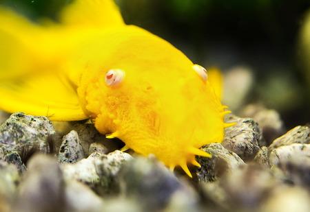 Golden Ancistrus pleco catfish Male albino Bristle-nose