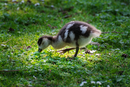 wild goose chick on the nature