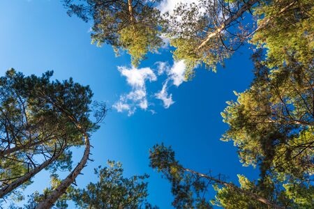 Crowns of coniferous trees against a blue sky. View from the bottom up 免版税图像