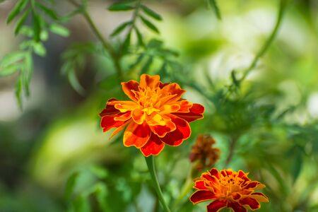 Flowers Marigolds in the garden