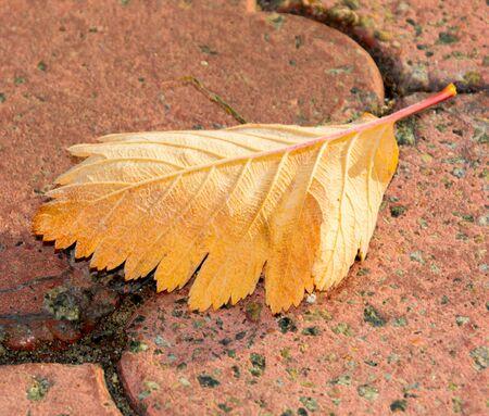 Falling yellow autumn leaf on stone Zdjęcie Seryjne