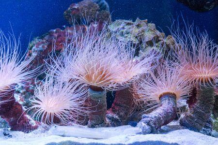 Tube anemone or cylinder anemone, Cerianthus membranaceus Zdjęcie Seryjne