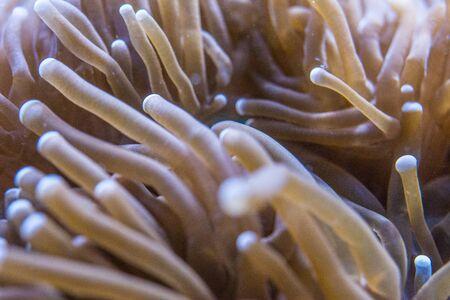 Macrodactyla doreensis , Sea anemone