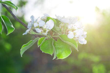 Flowering branch of fruit tree