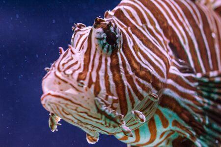 Pterous volitans fish at deep ocean close-up