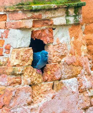 City Pigeon on the wall close up Banco de Imagens