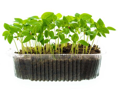 Fresh sprouts ( seedlings ) in a plastic box on a white background