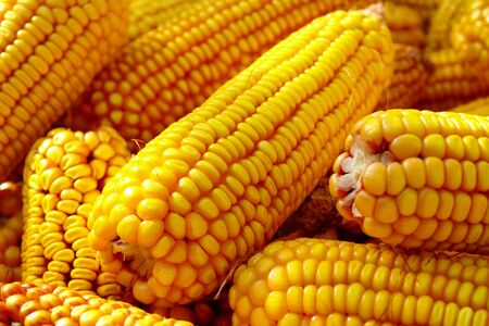 yellow ripe corn collected in autumn photo