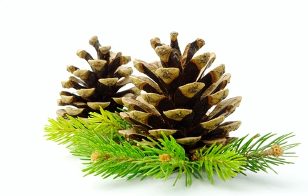 cone and pine branches on a white background photo