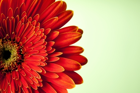 red gerbera flower on yellow gradient background