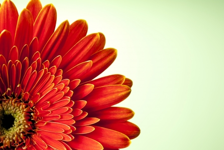 gerber daisy: red gerbera flower on yellow gradient background