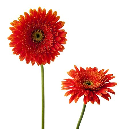 gerber: red gerbera flowers on a white background Stock Photo